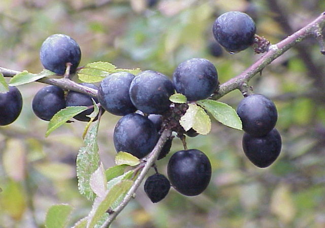 I preziosi ed antichi frutti del Prunus