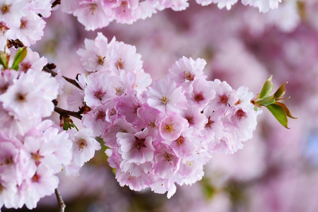 Il giardino dei ciliegi unidea per ricordare le proprie origini